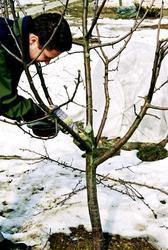 Обрезка-формировка плодовых деревьев