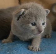 предлагаются котята породы РУССКАЯ ГОЛУБАЯ