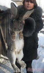 племенной молодняк кроликов-гигантов