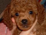 Яркие щенки минипуделя