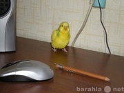 Волнистого попугая